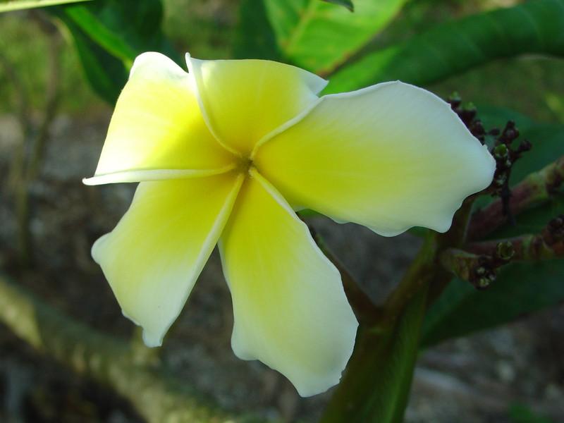 Celadine Plumeria