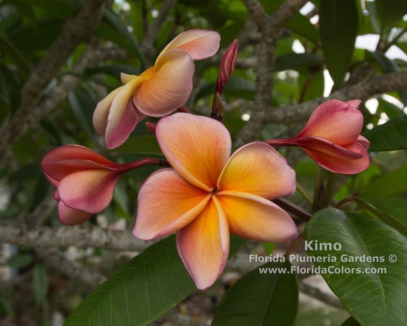 Kimo Plumeria