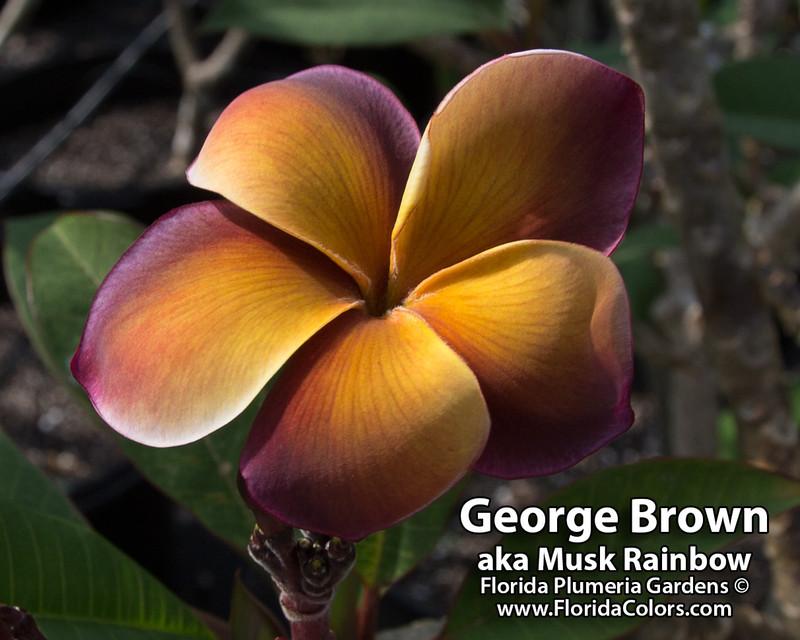 Musk Rainbow aka George Brown Plumeria