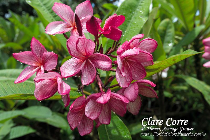Clare Corre Plumeria
