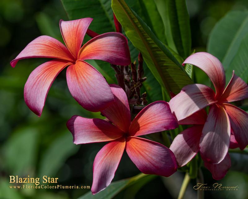 Blazing Star Plumeria