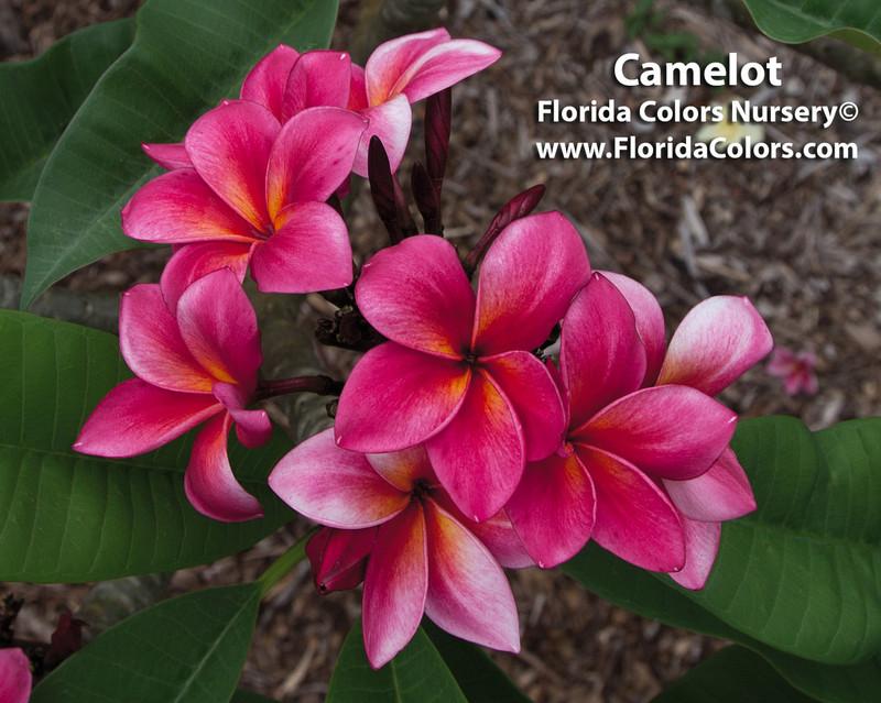 Camelot Plumeria