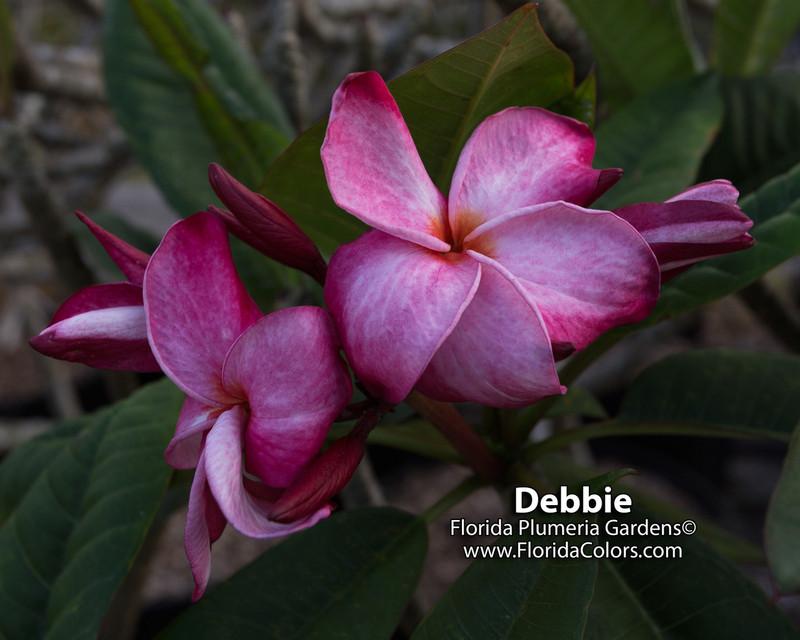 Debbie aka JJ Nirvana Plumeria