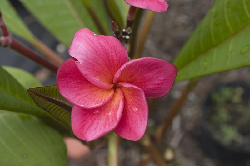 Kimoson Plumeria