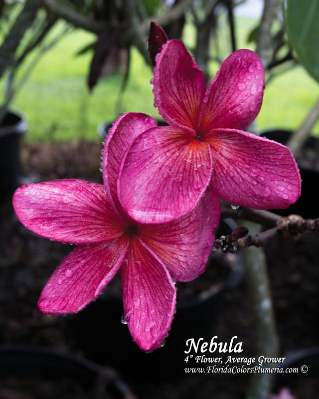 Nebula Plumeria