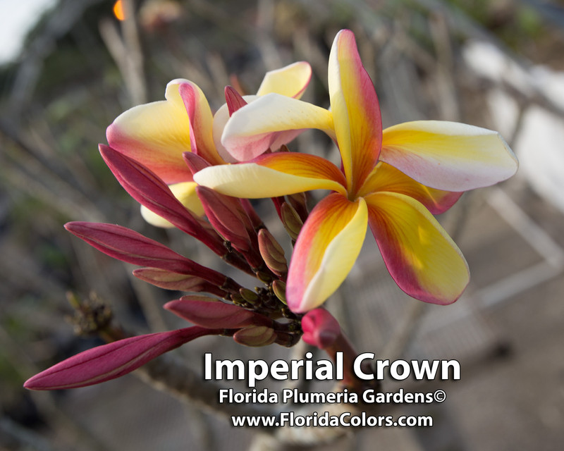 Imperial Crown Plumeria