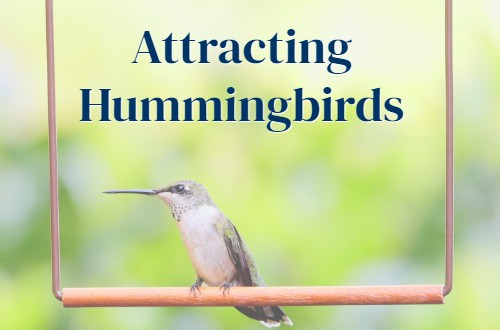 Pop's Guide to Attracting Hummingbirds