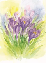 Crocuses - Postcard