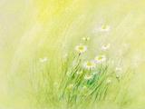 Daisies - Postcard