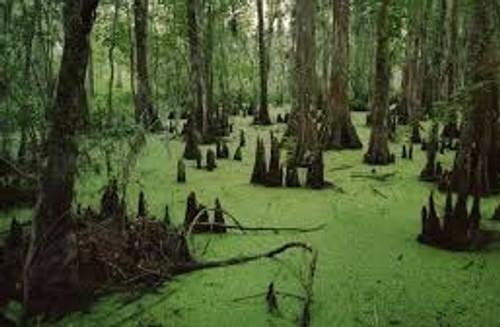 Swamp Fog Scent