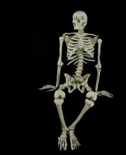 Budget Bucky Full Skeleton Halloween Prop