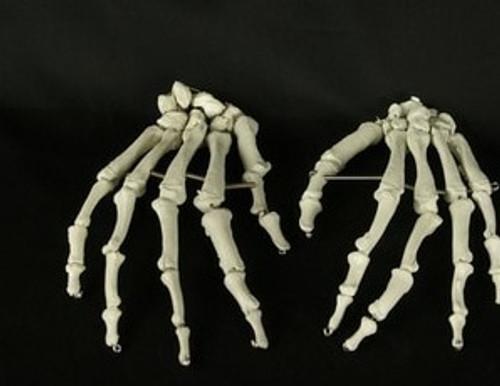 Life-Size Bucky Skeleton Hand Halloween Prop