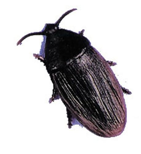 Cockroach 2 Inch Econo