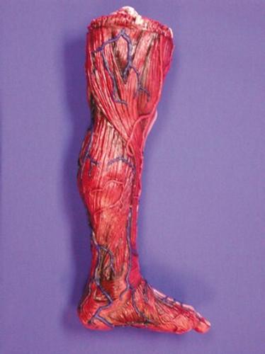Skinned Left Leg Halloween Prop