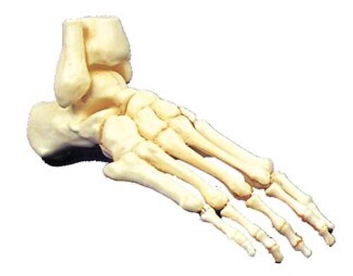 Skeletal  Human Foot Halloween Prop