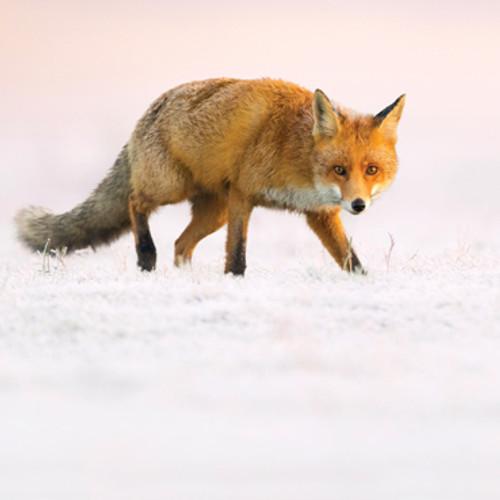 Card - Fox in the Snow