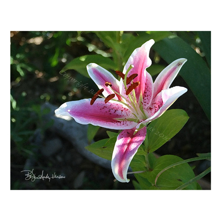 10 Stargazer Lily Blank Note Cards