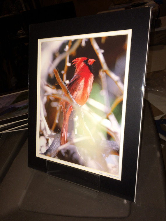 Cardinal - Matted Print 11 x 14