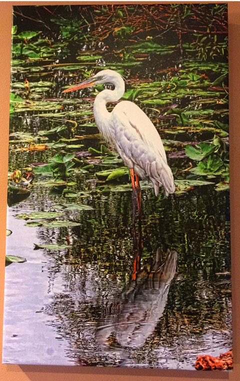 Great White Heron Canvas Print 26 In x 16 In x 1.5 In