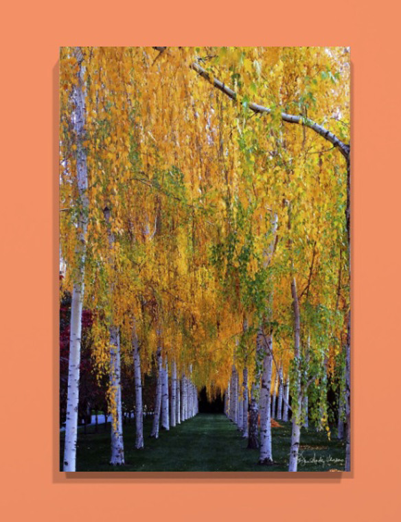 Fall Birch Canvas print - 30 x 20 x 1.5