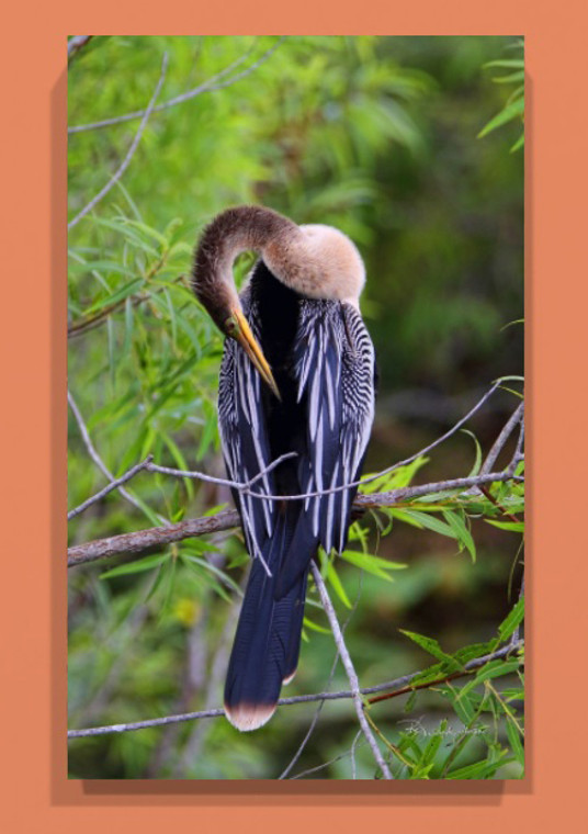 Anhinga Canvas Print 26 In x 16 In x 1.5 In
