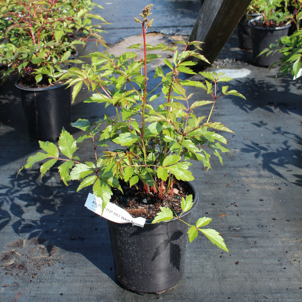 False Spirea Peach Blossom