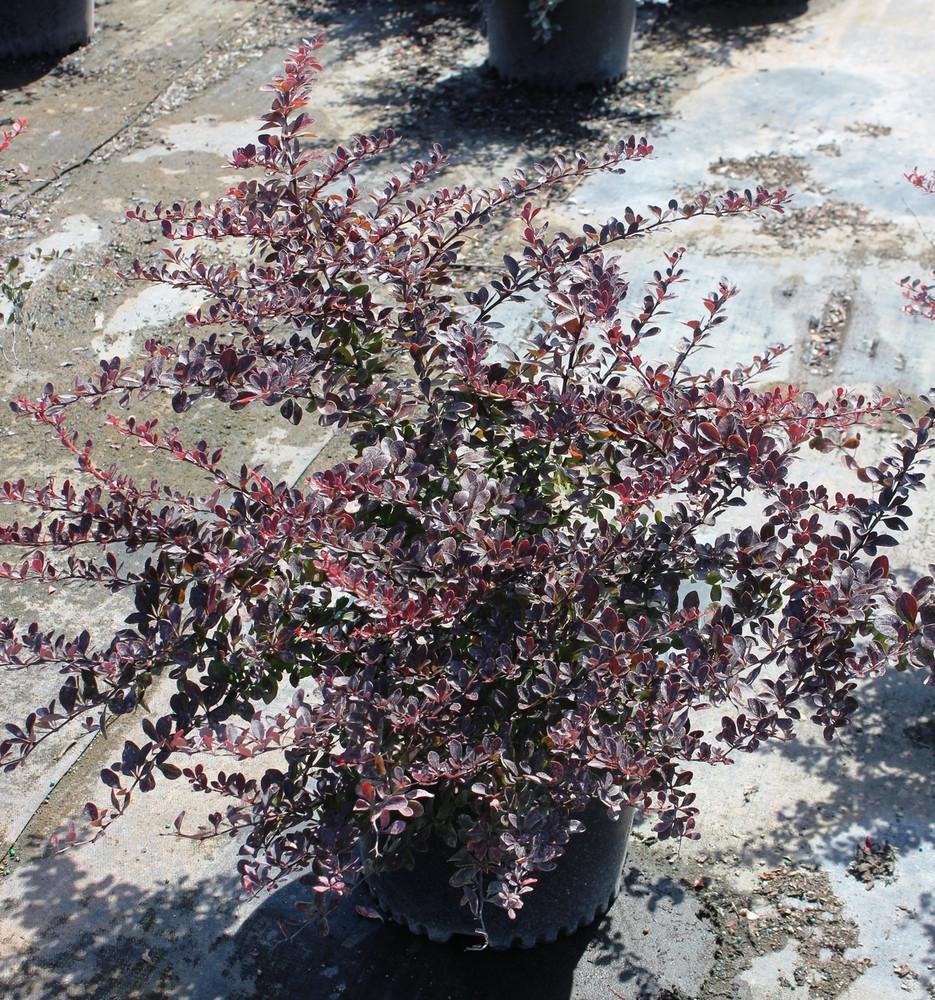 Berberis Crimson Pygmy