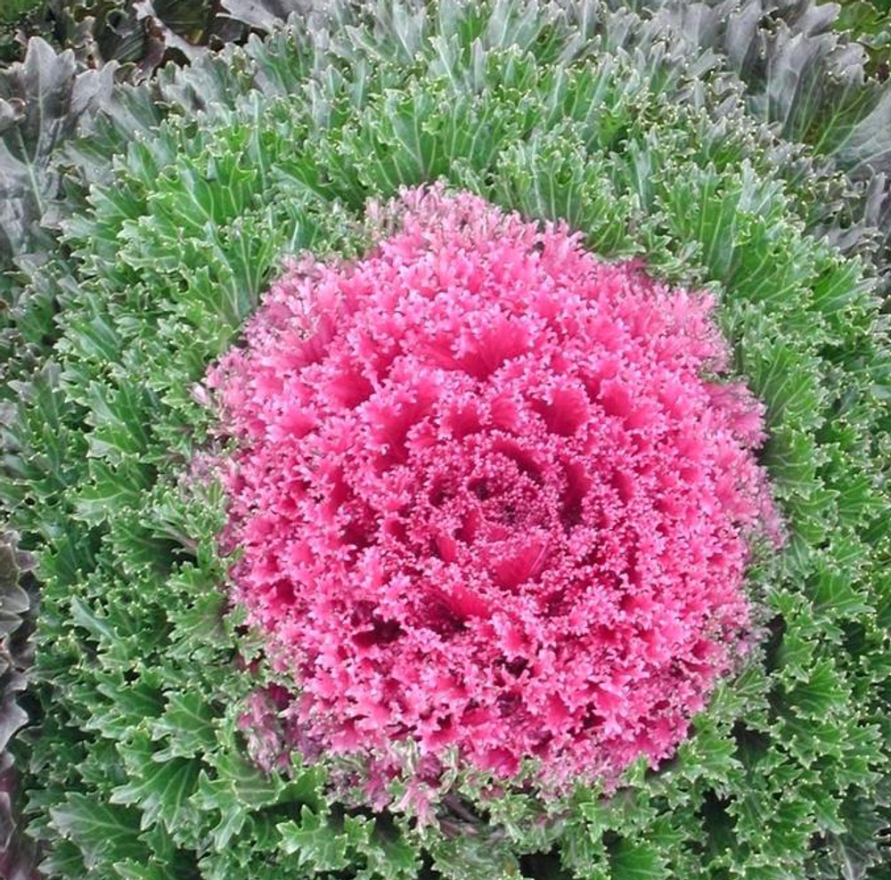 Glamour™ Red Ornamental Kale