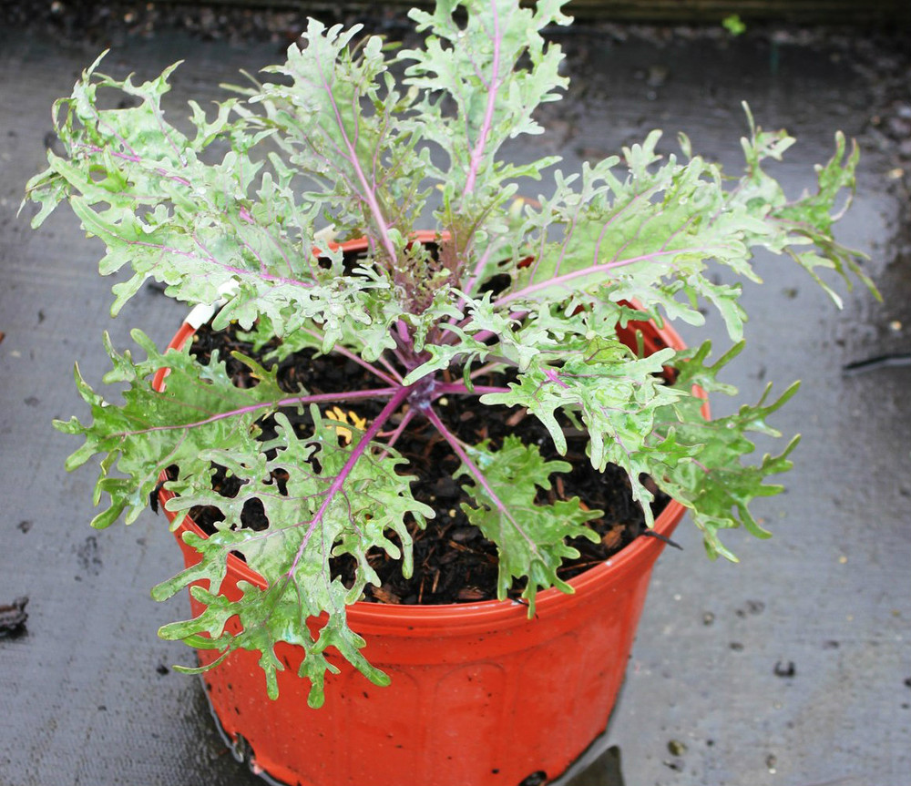 Brassica Peacock Red (Ornamental Kale)