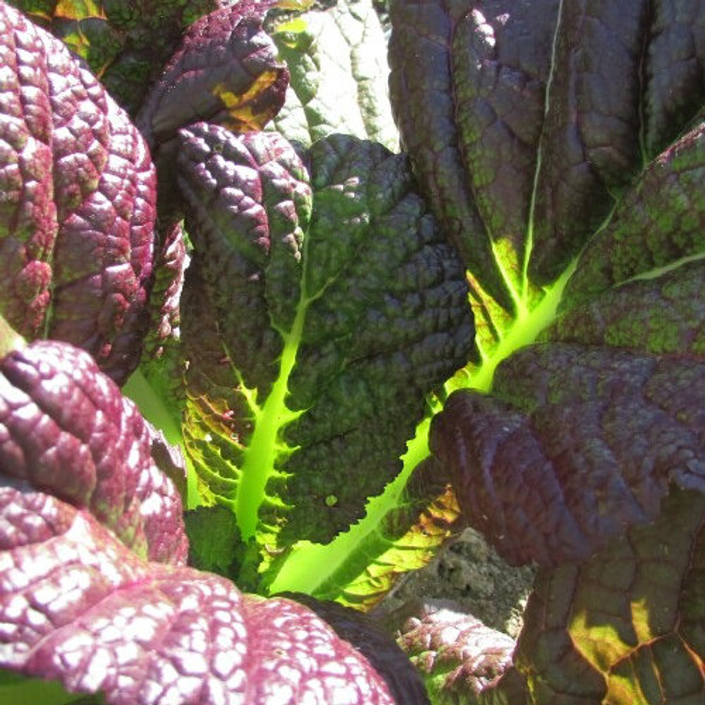 Brassica Red Giant (Indian Mustard)
