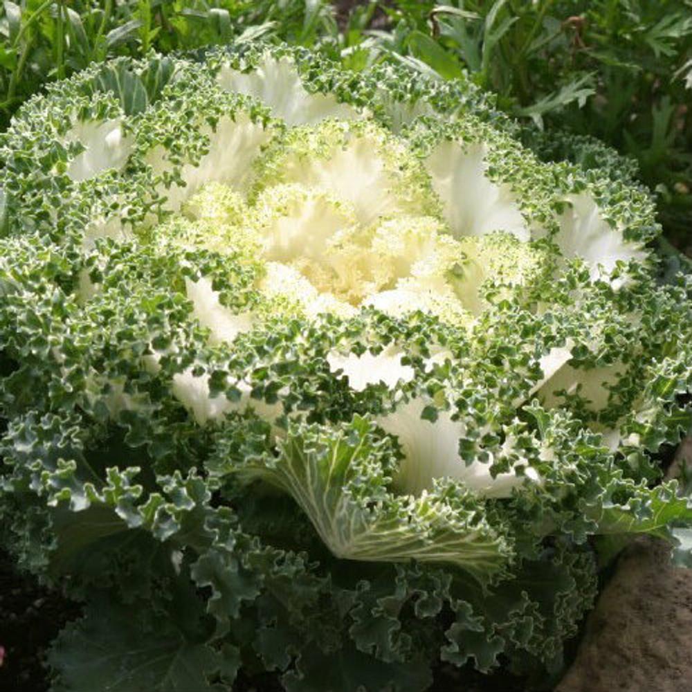 Brassica White Kamome™ (Ornamental Kale)
