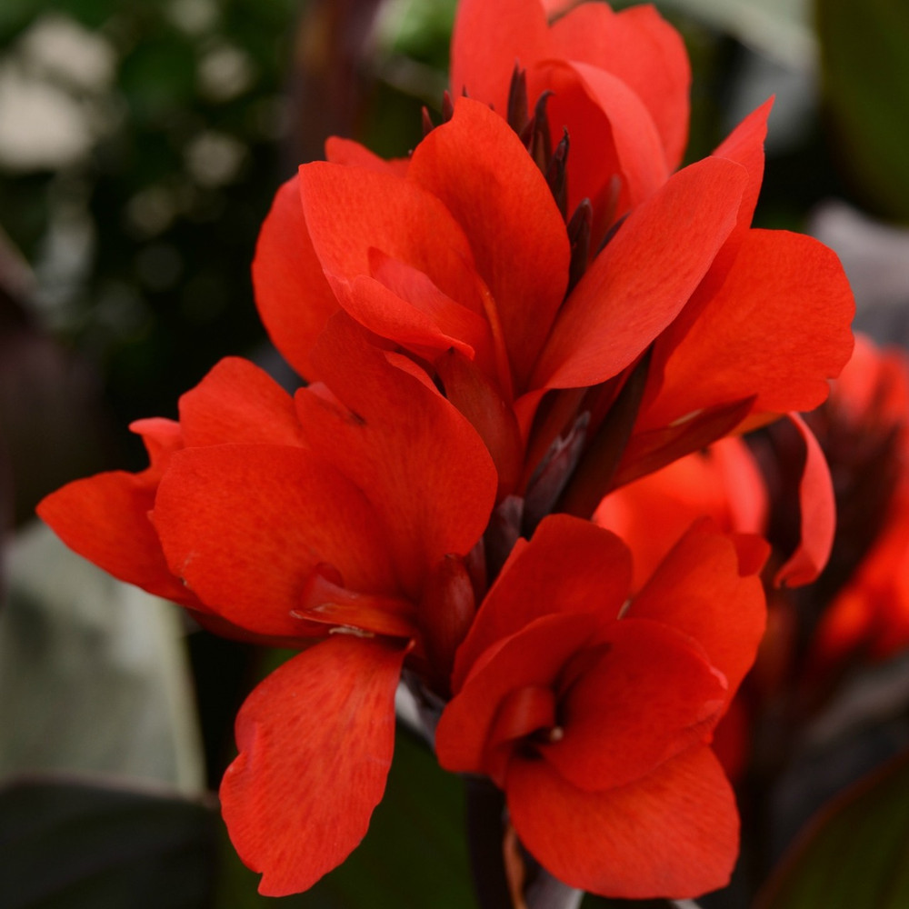 Canna Cannova® Bronze Scarlet