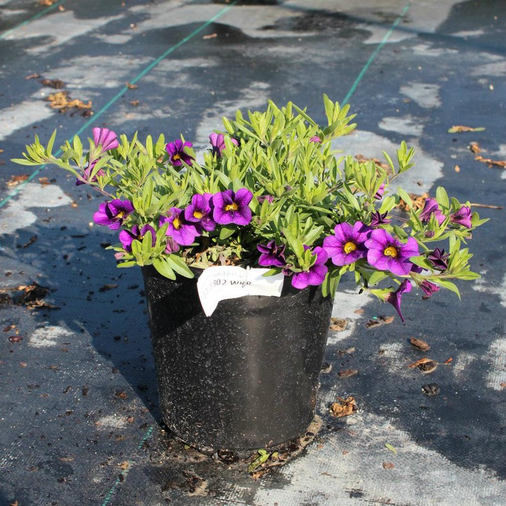 Calibrachoa Callie® Purple