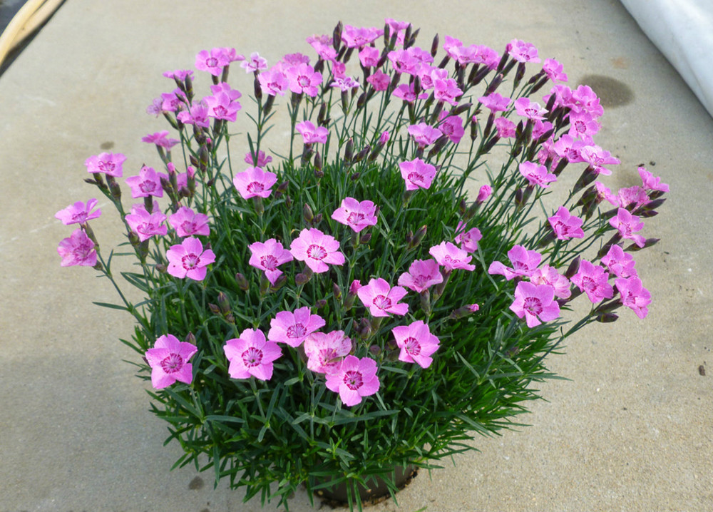 Dianthus Mountain Frost™ Pink Carpet