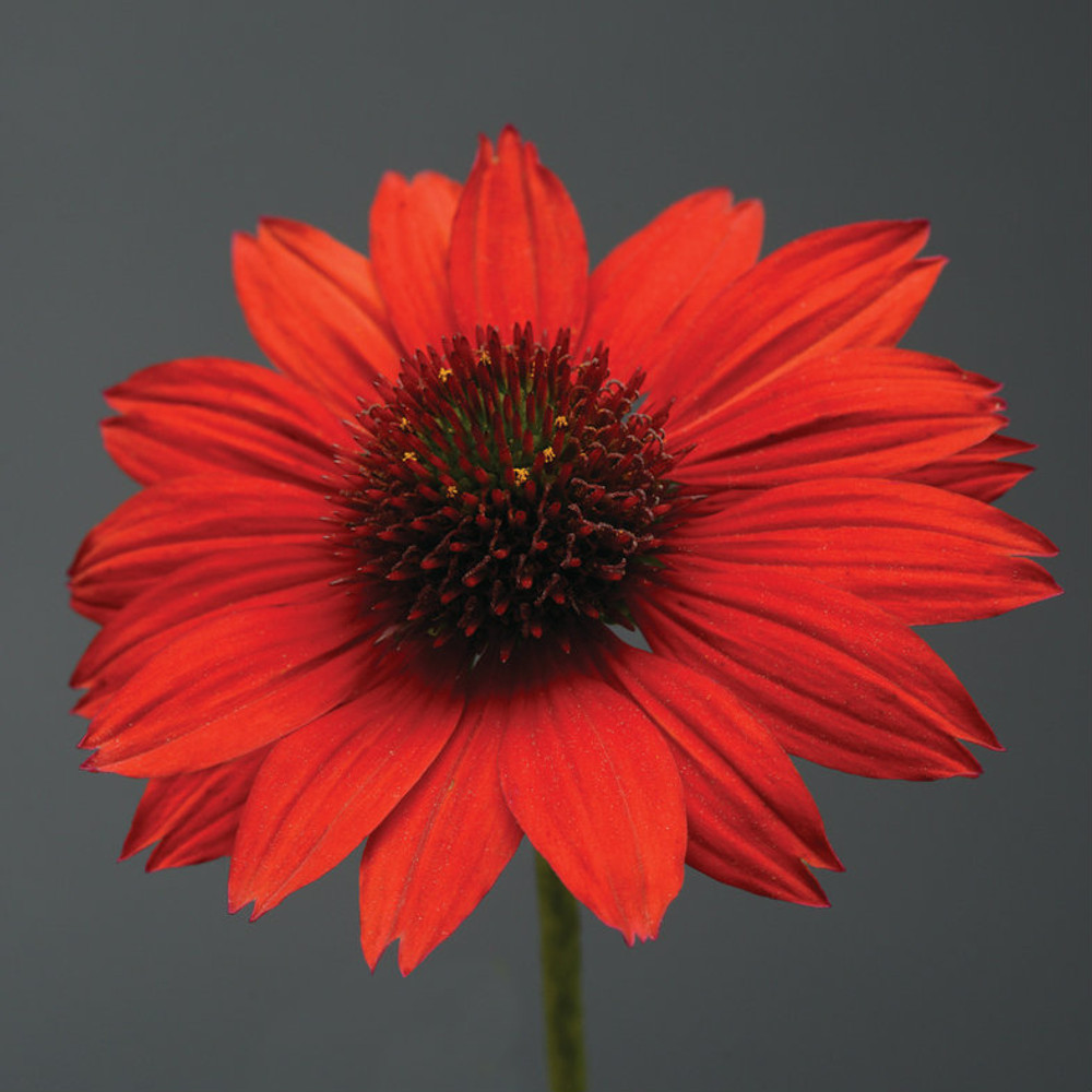 Echinacea Sombrero® Salsa Red (Coneflower)