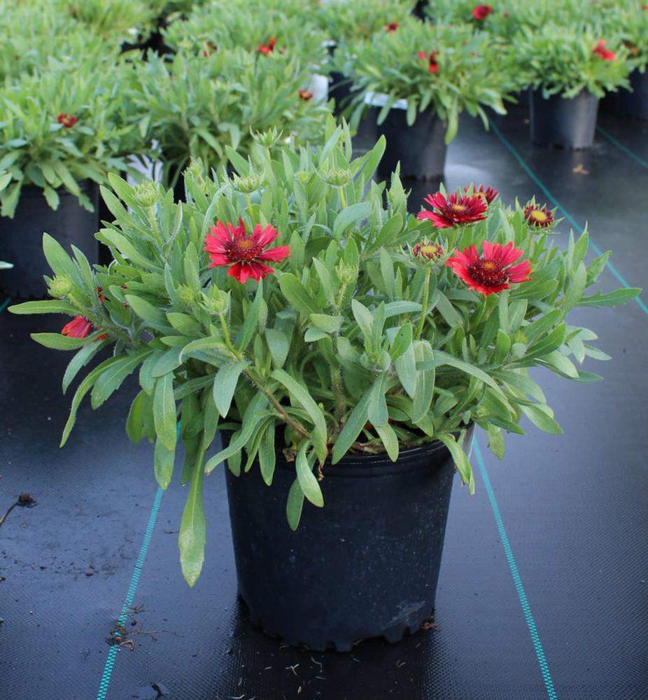 Gaillardia Sunrita® Burgundy (Blanket Flower)