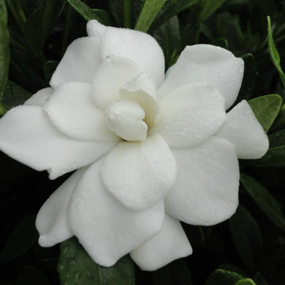 Gardenia Double Mint