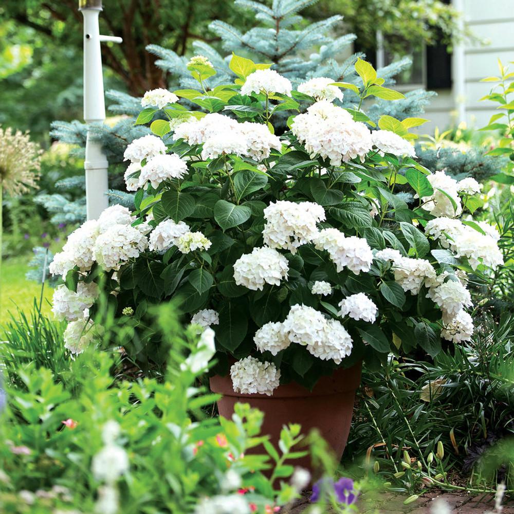 Hydrangea mac. Endless Summer® Blushing Bride
