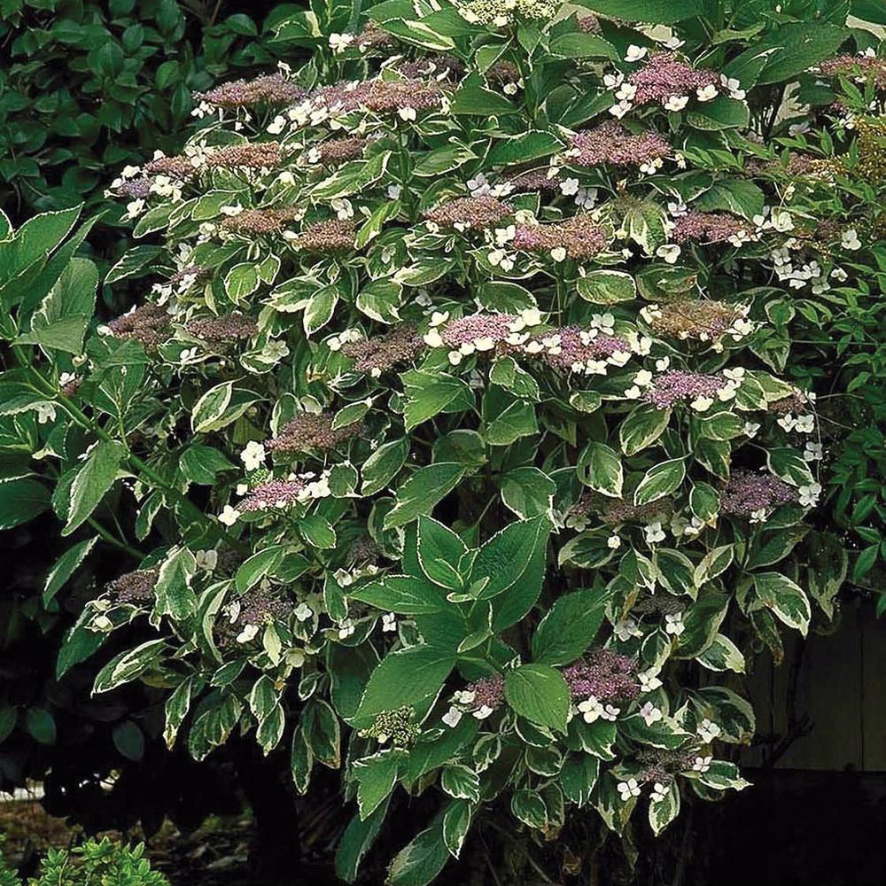 Hydrangea mac. Mariesii Variegata