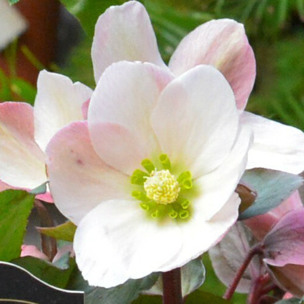 Helleborus Gold Collection® Pink Frost