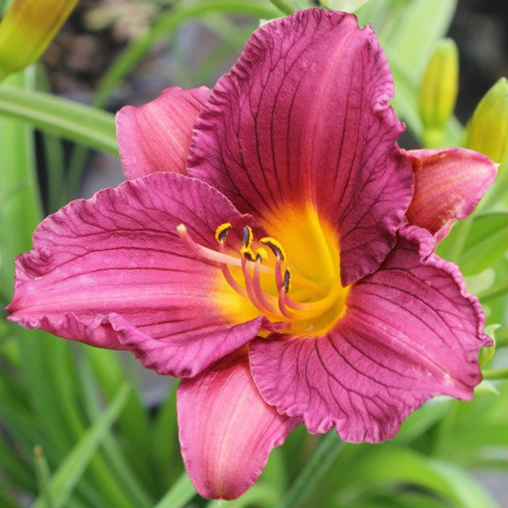 Daylily Purple De Oro