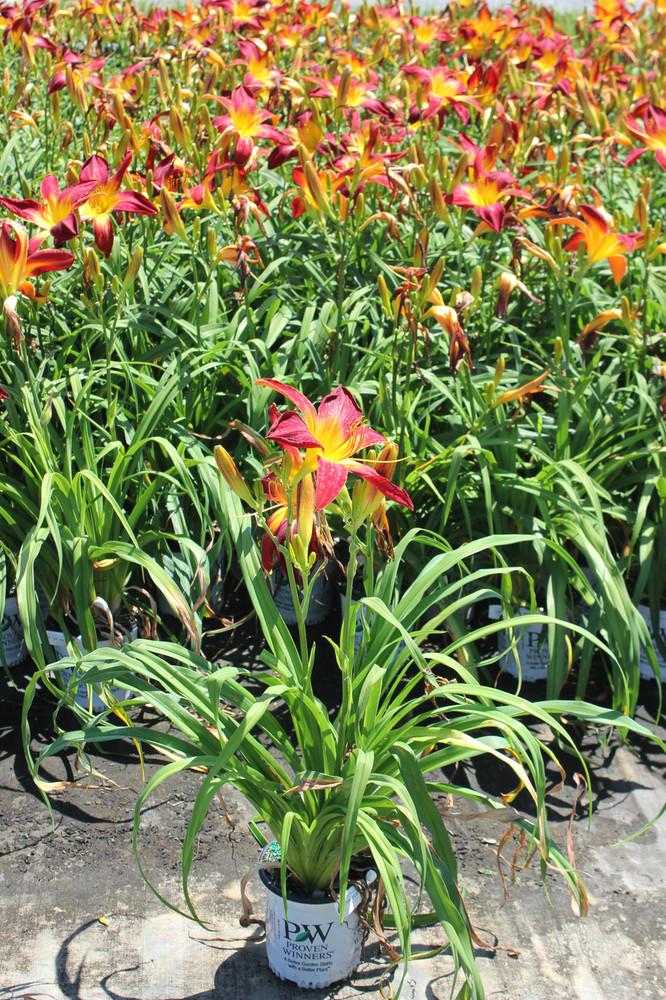 Hemerocallis Rainbow Rhythm® Ruby Spider (Daylily)