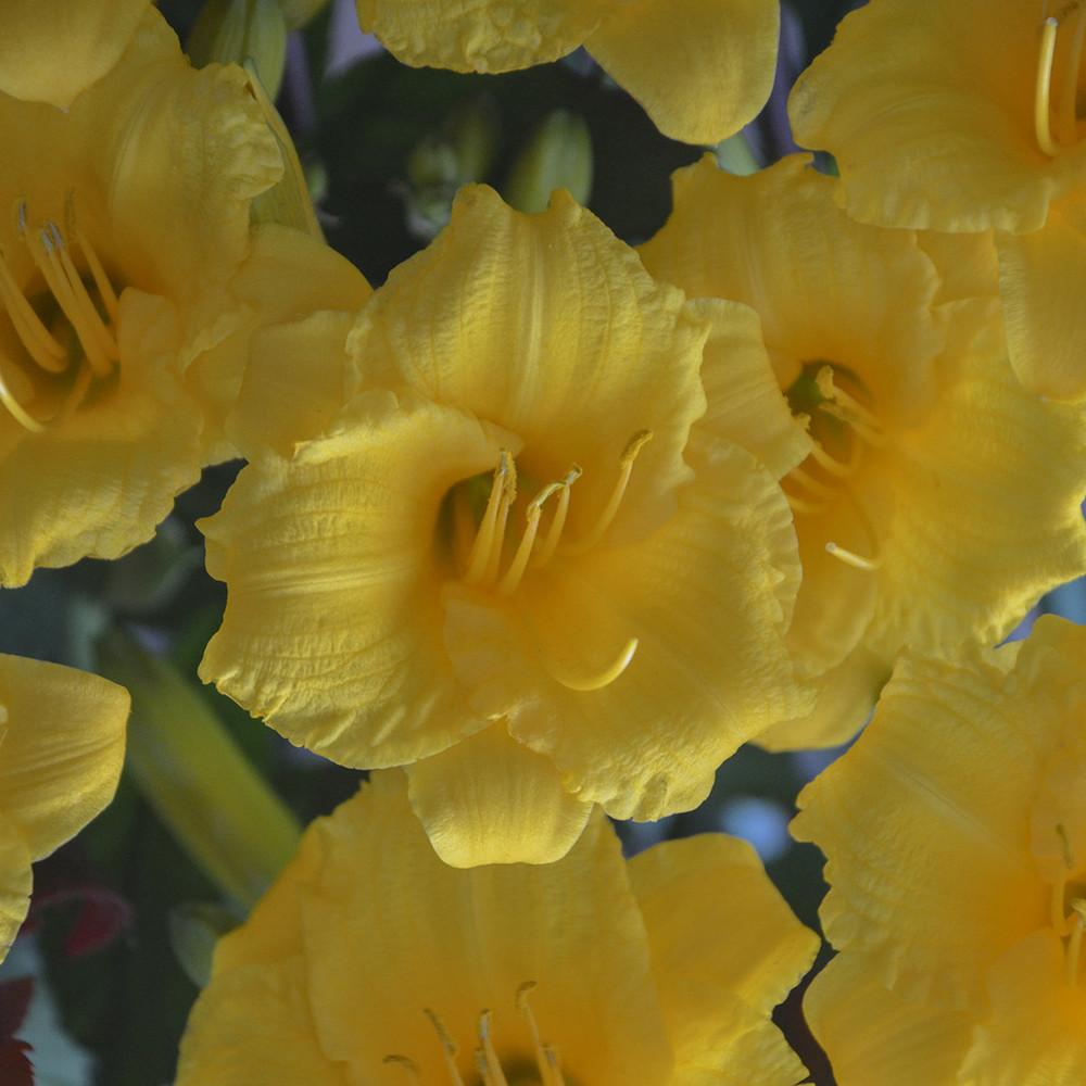 Hemerocallis Stella De Oro (Daylily)