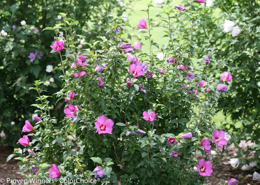 Hibiscus Lil' Kim® Violet