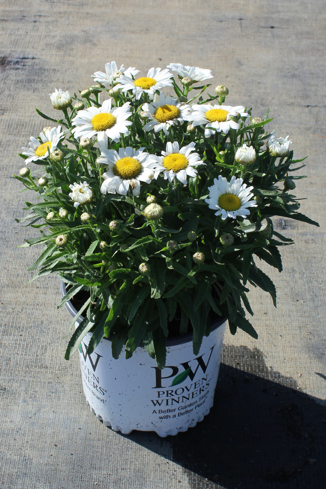 Amazing Daisies® Daisy May®