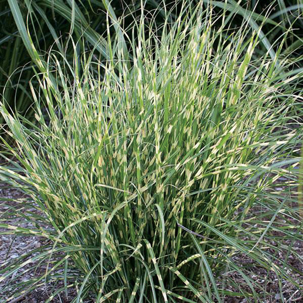 Miscanthus Bandwidth (Japanese Silver Grass)