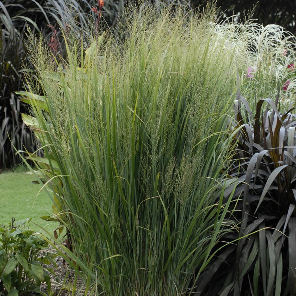 Panicum Northwind (Upright Switch Grass)