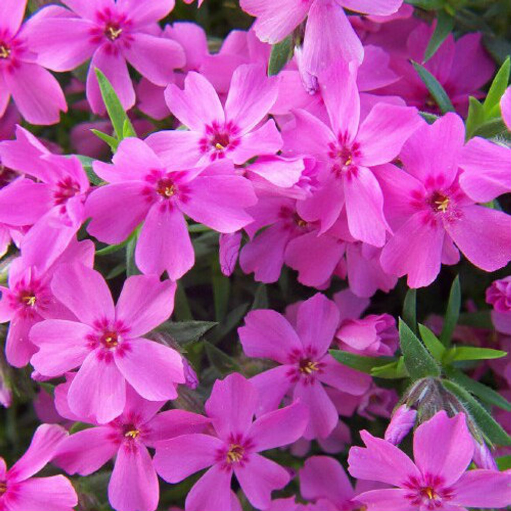 Phlox Crimson Beauty