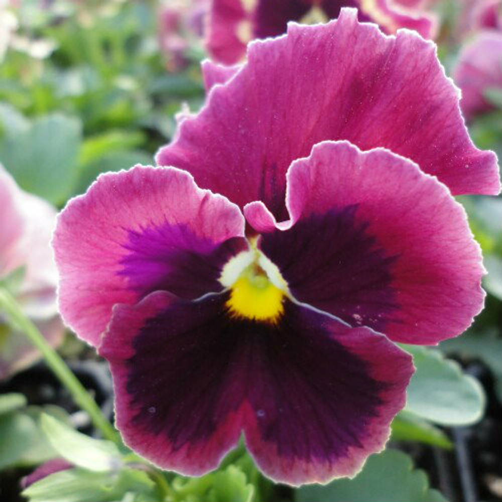 Pansy Majestic Giants II Rose With Blotch