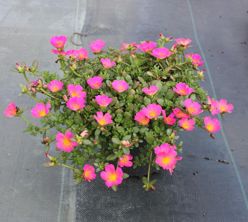 Portulaca Pazazz™ Pink Glow